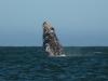 Whale-breeching-2