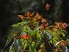 Cerro-Pelon-monarchs-7
