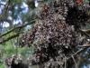 Cerro-Pelon-monarchs-cluster-11