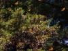 Cerro-Pelon-monarchs-cluster-4