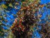El-Rosario-monarchs-cluster-1-scaled