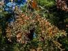 El-Rosario-monarchs-cluster-6