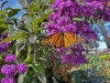 Monarch-on-heliotrope